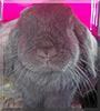 Loki the Mini Lop Rabbit