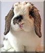 Honey Bunny the Holland Lop Rabbit
