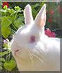 Miffy the Netherland Dwarf Rabbit