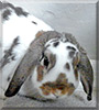 Rambo the Holland Lop Rabbit