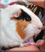 Novak the Guinea Pig