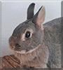 Sternchen the Dwarf rabbit