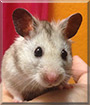 Buddy the Syrian Hamster