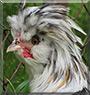 Cecil the Polish Chicken