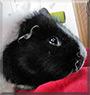 Oscar the Guinea Pig