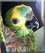 Bella the Blue Front Amazon Parrot