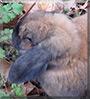Nibbles the Holland Lop Rabbit