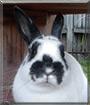 Cookie the Netherland Dwarf Rabbit