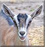 Marion the Alpine Dairy Goat