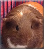 Snickers the Guinea Pig