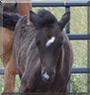 Freyja the Icelandic Horse