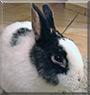 Blacky the Dwarf Rabbit