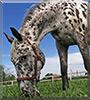 Wyatt the Appaloosa Horse