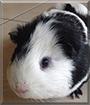 Peter the Guinea Pig