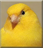 See Pepe the Canary  - the Pet of the Day