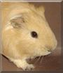 Tomodachi the Guinea Pig
