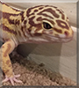 Sullivan the Giant Leopard Gecko