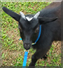 Andrious the Pygmy Goat