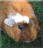 Doofenshmirtz the Guinea Pig