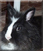 Bobby the Lionhead Rabbit
