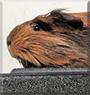Leana the Peruvian Guinea Pig