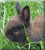 Schnugi the Dwarf Rabbit