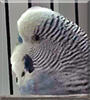 Midnight the Parakeet