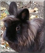 Groo the Lionhead mix Rabbit
