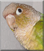 Honey the Green Cheek Conure
