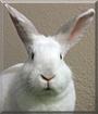 Libby Lou the California/New Zealand mix Rabbit