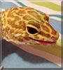 Solar the Leopard Gecko