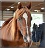 Gramizar the Arabian Horse