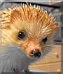 Thulieaux the African Pygmy Hedgehog