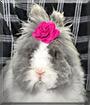 Pluis the Teddy Widder rabbit