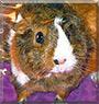 Iris the Guinea Pig