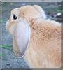 Raito the Mini lop rabbit