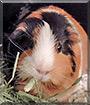Mochi the Guinea Pig