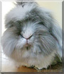 Groovy Bruce the Lionhead, Lop Rabbit