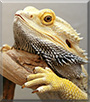Old Man Bubbles the German Giant Bearded Dragon