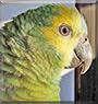 Kiki the Amazon Parrot