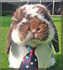 Milo the Mini Lop Rabbit