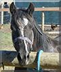 Kona the Welsh Pony