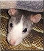Fedya the Rat