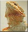 Sage the Bearded Dragon
