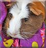 Rosie the Guinea Pig