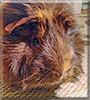 Fluffles the Guinea Pig
