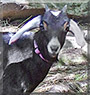 Clarabelle the Nubian Goat