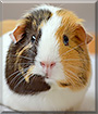 Pippin the Guinea Pig