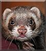 Sammy the Polecat