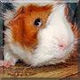 Neo the Guinea Pig